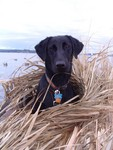 Skeets first hunting trip to Nisqually delta (