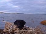Skeets first hunting trip to Nisqually delta